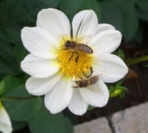 Auf der Brücke leben Honigbienen?