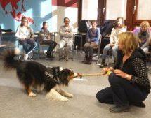 Australian Shepherd Mylo besucht die Klassen 5