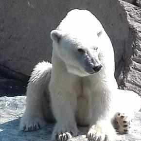 Der Eisbär hat es schwer fernab vom kalten Polar
